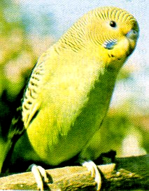 Close-up of wild budgerigar