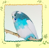 Eleven year old budgie, Comfrey
