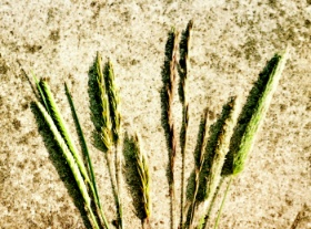Some favourite, early grasses