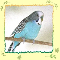 Thirteen year old budgie, Parsley