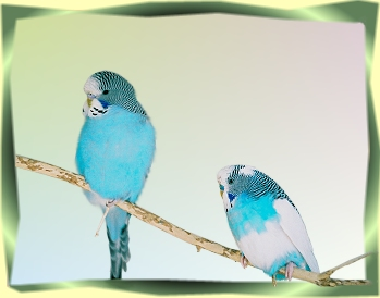 Young and old budgies